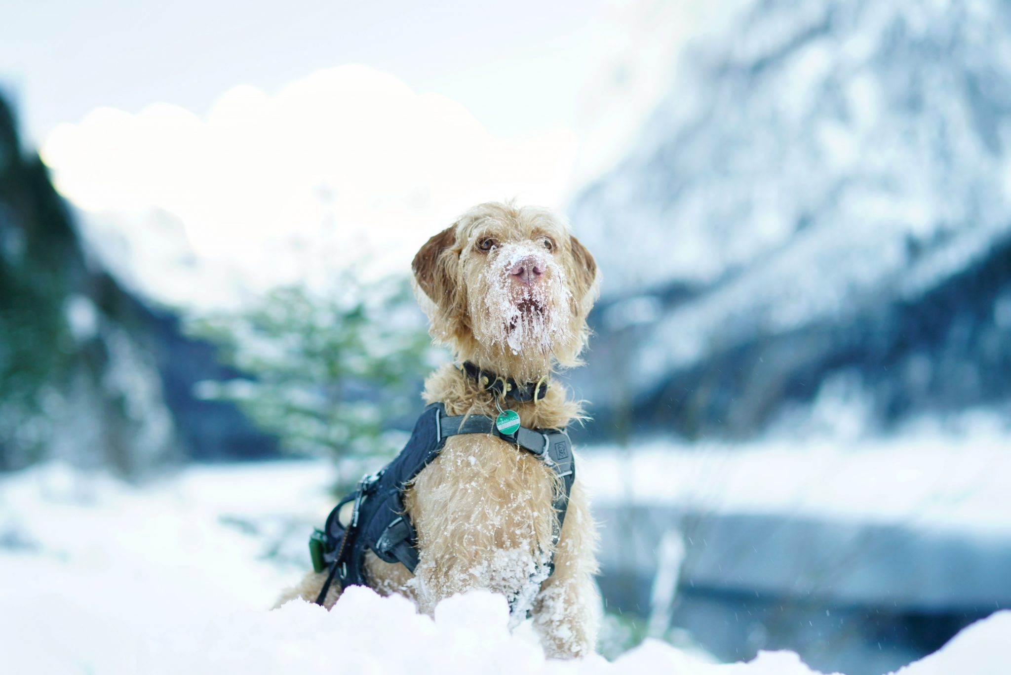 dog-covered-with-snow-3376610