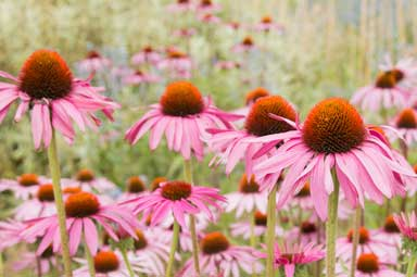 echinacea, one of the great ingredients